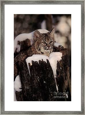 Bobcat Kitten Framed Print by Ron Sanford