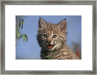 Bobcat Kitten Framed Print by Tim Fitzharris