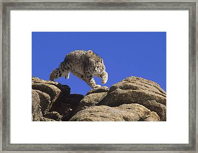 Bobcat Leaping From Rocks Colorado Framed Print by Konrad Wothe