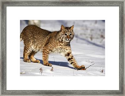 Bobcat Framed Print by Linda Freshwaters Arndt