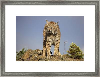 Bobcat North America Framed Print by Tim Fitzharris