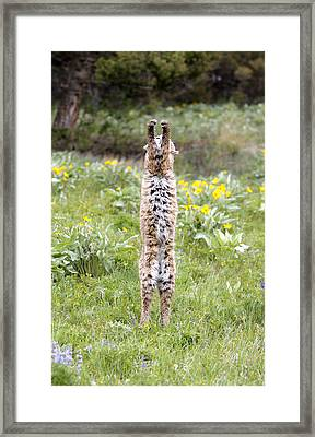 Bobcat On Hind Legs Framed Print by M. Watson