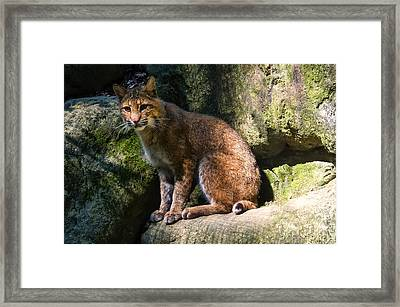 Bobcat Resting On Rocks Framed Print by Chris Flees