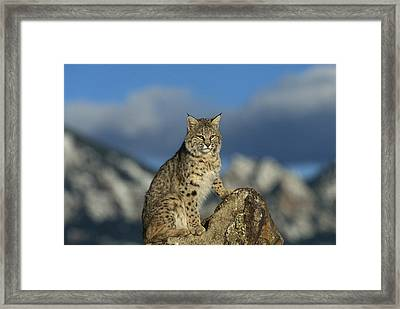 Bobcat  Rocky Mountains Framed Print by Konrad Wothe