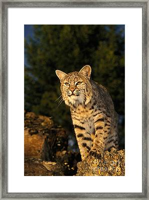 Bobcat Framed Print by Ron Sanford