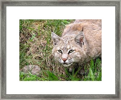Bobcat Stalking Framed Print by Sylvie Bouchard