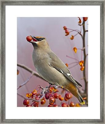 Bohemian Waxwing With Fruit Framed Print by John Vose