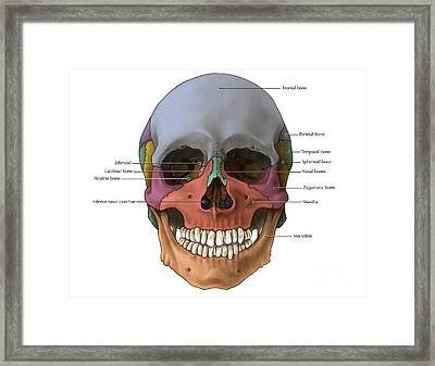 Bones Of The Skull Anterior Framed Print by Evan Oto