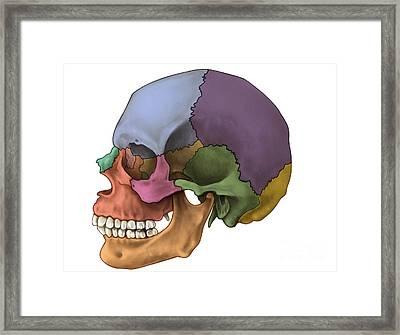 Bones Of The Skull Lateral Framed Print by Evan Oto
