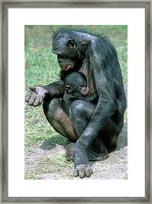 Bonobo Pan Paniscus Nursing Framed Print by Millard H. Sharp