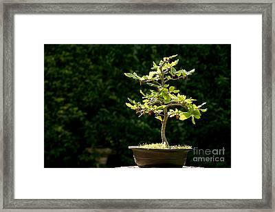 Bonsai Framed Print by Jane Rix