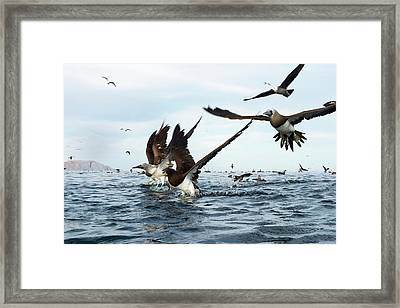 Boobies Framed Print by Christopher Swann