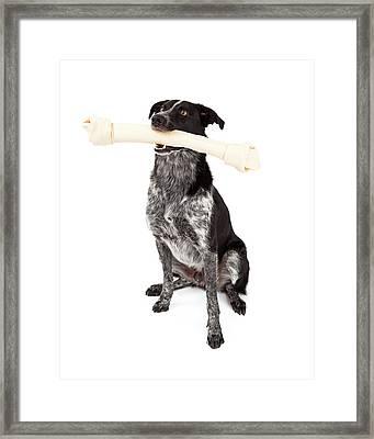 Border Collie Carrying Bone Framed Print by Susan  Schmitz