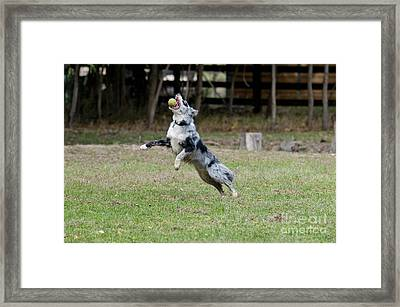 Border Collie Catching A Ball Framed Print by William H. Mullins