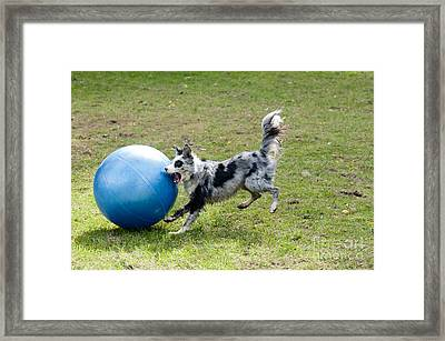Border Collie Chasing Ball Framed Print by William H. Mullins