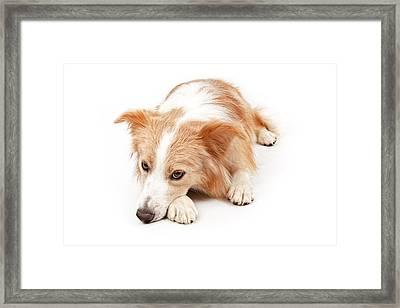 Border Collie Dog Laying Down  Framed Print by Susan  Schmitz