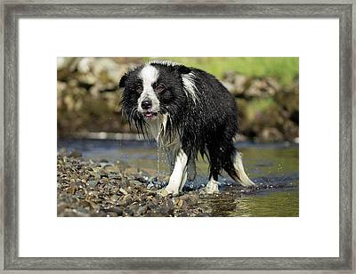 Border Collie Dripping Wet After Swimming Framed Print by Simon Booth