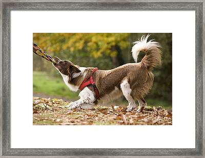 Border Collie Playing Framed Print by Jean-Michel Labat