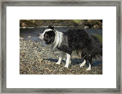 Border Collie Shaking Dry After Swimming Framed Print by Simon Booth