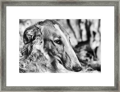 Borzoi Dog Portrait Framed Print by Christian Lagereek