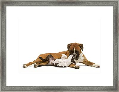 Boston Terrier And Boxer Framed Print by Jean-Michel Labat