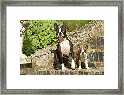 Boston Terrier And Puppy Framed Print by Jean-Michel Labat