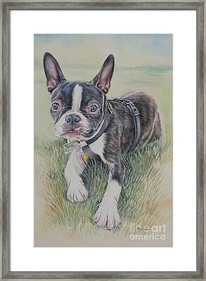 Boston Terrier Puppy Framed Print by Gail Dolphin