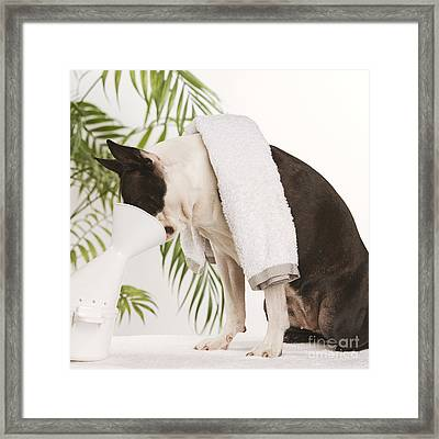 Boston Terrier Steam Therapy Framed Print by Jean-Michel Labat
