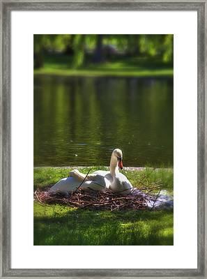Boston's Romeo And Juliet Swans Framed Print by Joann Vitali