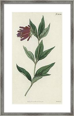 Botanical Engraving Framed Print by English School