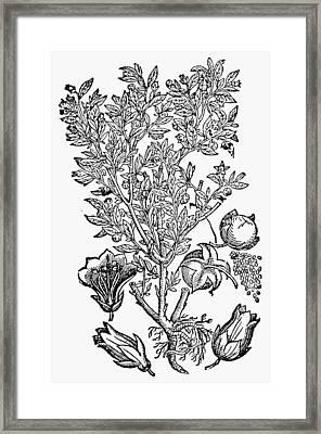 Botany Belladonna, 1744 Framed Print by Granger