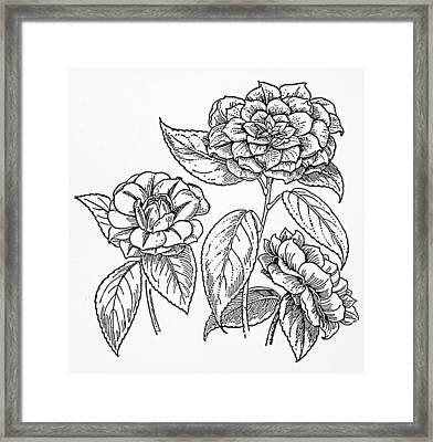 Botany Camellia Framed Print by Granger