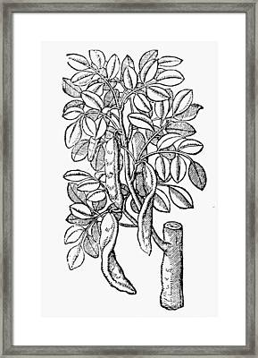 Botany Carob Tree, 1633 Framed Print by Granger