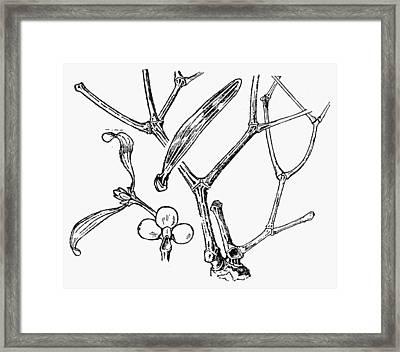 Botany Mistletoe Framed Print by Granger