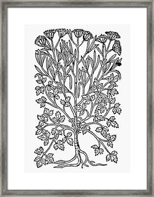 Botany Parsley Root Framed Print by Granger