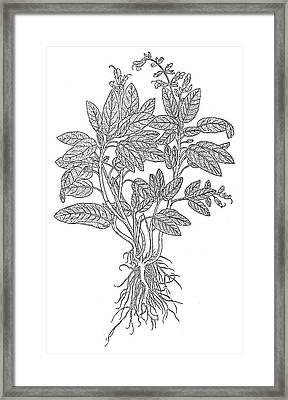 Botany Sage Framed Print by Granger