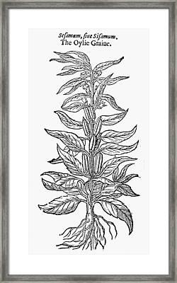 Botany Sesame Plant, 1633 Framed Print by Granger
