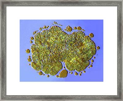 Botryococcus Green Algae Framed Print by Marek Mis