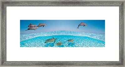 Bottlenose Dolphin Jumping While Framed Print by Panoramic Images