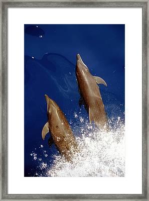 Bottlenose Dolphins Tursiops Truncatus Framed Print by Anonymous
