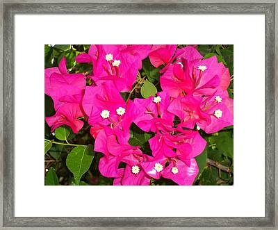 Bougainvilla 2 Framed Print by Ron Kandt