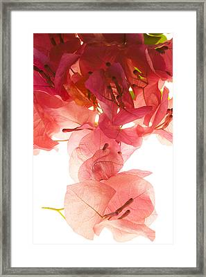 Bougainvillae Framed Print by Rodger Shagam