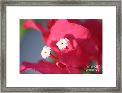 Bougainvillea 2 Framed Print by Cheryl Young