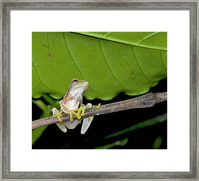 Boulenger's Tree Frog Framed Print by K Jayaram