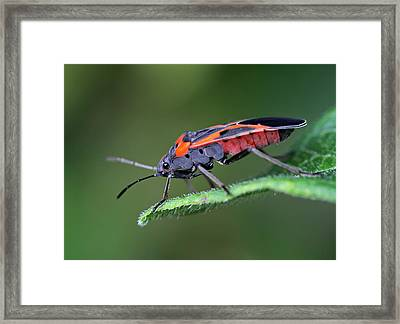 Boxelder Bug Framed Print by Juergen Roth