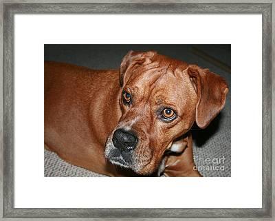 Boxer Buster Brown Framed Print by Sandra Clark