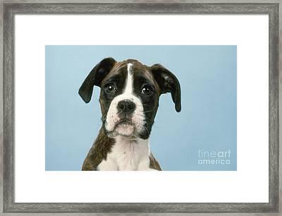 Boxer Dog, Close-up Of Head Framed Print by John Daniels