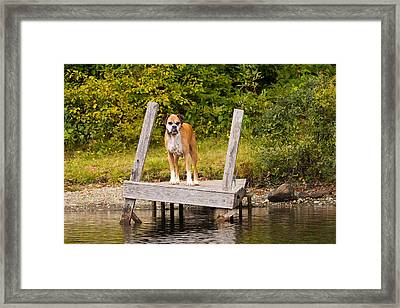 Boxer On Lake Dock Framed Print by Stephanie McDowell