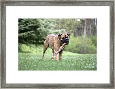 Boxer Playing With Stick Framed Print by Rolf Kopfle