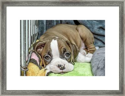Boxer Puppy Among Toys Framed Print by Tony Moran